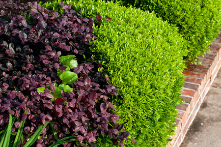 violet residential: Green and violet plants in a residential flower bed.