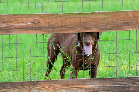 wooden fence: Healthy chocolate brown lab behind a wooden fence with green grass in background.