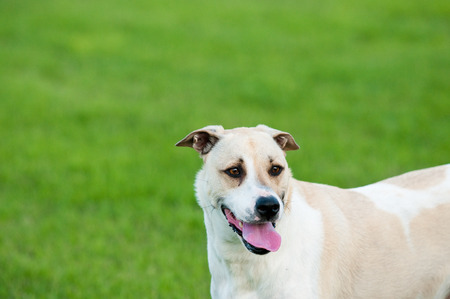 large dog: Large white and tan dog outdoors with floppy ears and tongue sticking out looking happy in green grass. Stock Photo