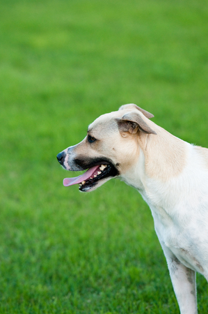 large dog: Large white and tan dog outdoors with green grass background. Stock Photo