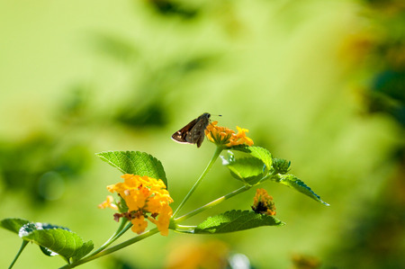 lantana: Beautiful yellow texas lantana with moth eating.