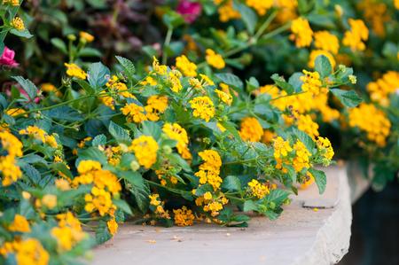 lantana: Garden of yellow lantana Stock Photo
