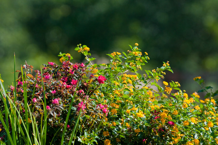 lantana: Yellow texas lantana and knock out roses with beautiful bokeh in background. Stock Photo
