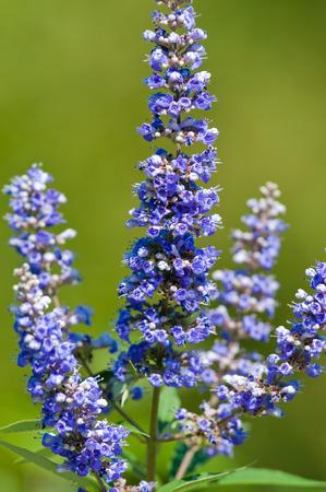 trifolia: Close up view of a lavendar vitex bloom in a garden.