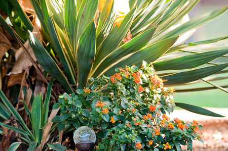 lantana: Garden of green and orange lantana and yucca plants.