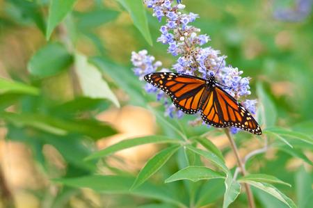 Butterfly on a purple chaste tree flower. Фото со стока