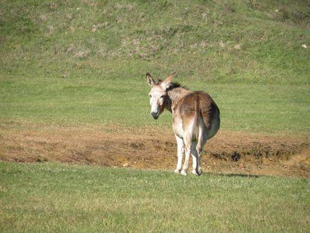 Jackass or Donkey