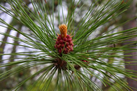 Spring Pinecone blooming in a burst