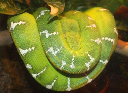 Female Emerald Tree Boa Snake photo