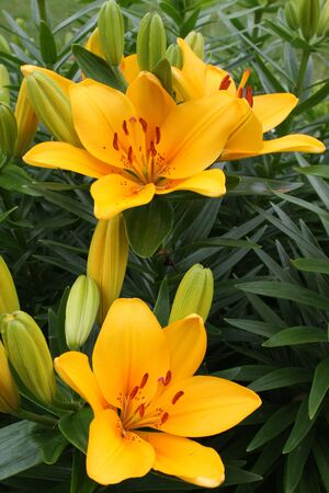 asiatic: Asiatic Lilies