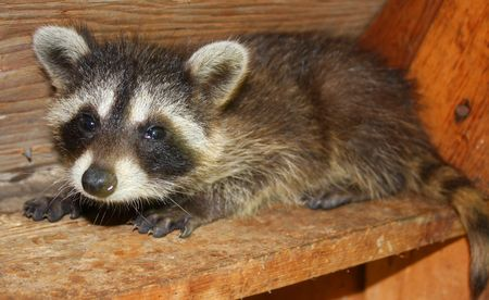 Baby Raccoon frightened on a ledge