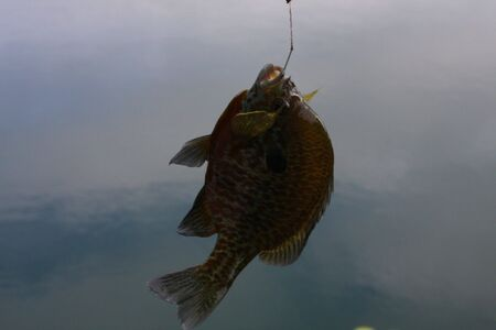 Blue Gill Fish being caught on a hook