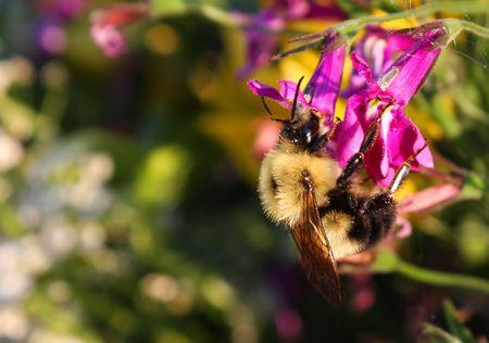 Bumble Bee Фото со стока