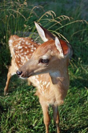 Fawn alert and curious Stock Photo