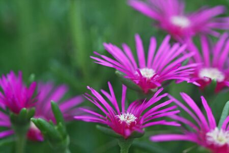 ground cover: Delosperma Ground Cover Flowers in pink colors Stock Photo