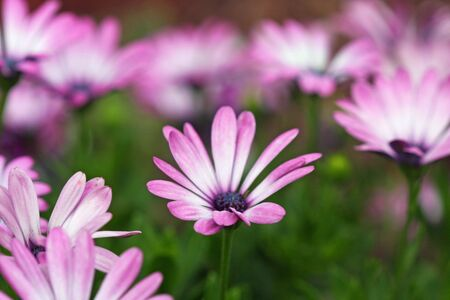 A bunch of beautiful purple daisies with stems Stock Photo