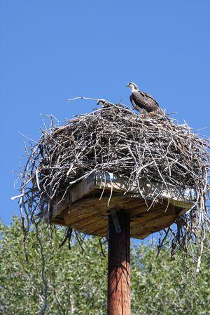 A nesting Osprey in Jackson Hole Wyoming Stock Photo