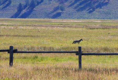 A coyote searching for prey in grassland