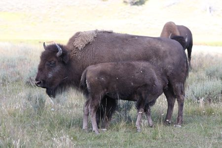 A Bison with her calf feeding on grass Stock Photo