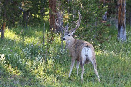A Mule Deer with Antlers posing in the woods