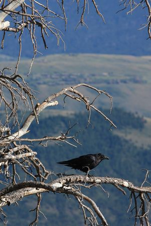 A black Raven in a dead tree photo