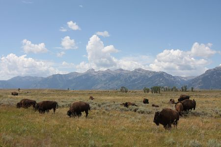 herd: Bison or American Buffalo roaming the western mountains.