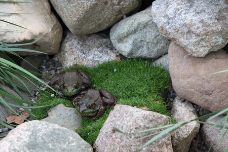 Two frogs resting on the moss between rocks Stock Photo