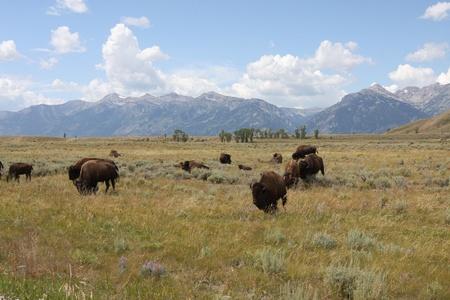 Bison grazing in an open range