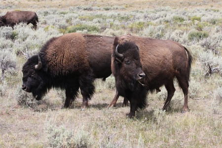 Bison grazing Stock Photo - 9093371