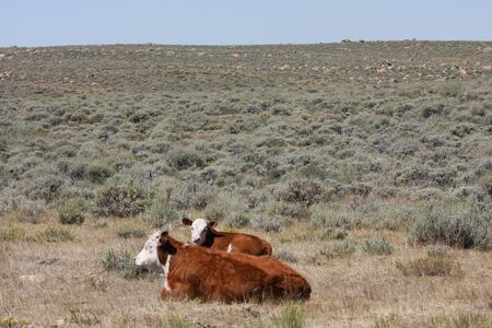 red heifer: Hereford vacas en un intervalo abierto