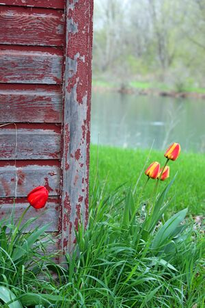 A Rustic Barn with Tulip flowers growing around it. photo