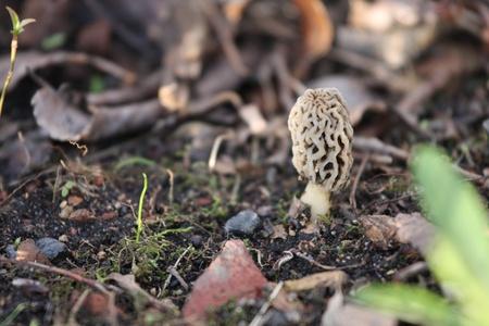 A single Morel Mushroom growing in the woods