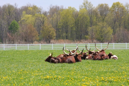 A herd of Longhorn Steers resting in the pasture. Stock Photo