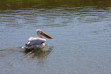 A Pelican floating over the rippled waters photo
