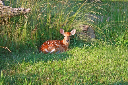 A fawn sitting in the grasses alert.