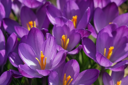 Purple Crocus Flowers growing in a meadow closeup Stock Photo