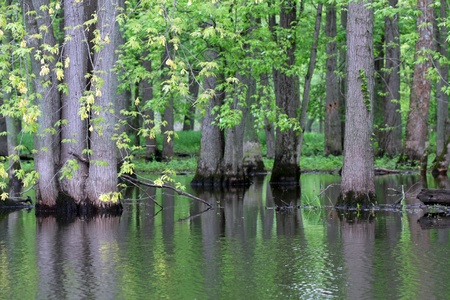 swampy: Trees in a swampy area of a river Stock Photo
