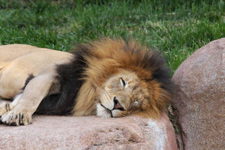 A Male Lion at rest on a Rock