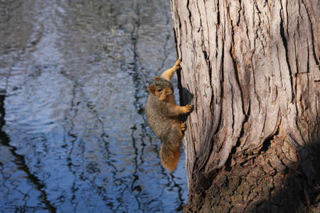 A squirrel on a tree over the water. Stock Photo