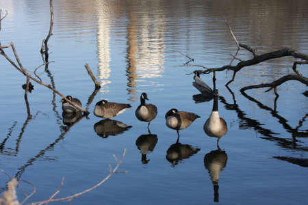 A gaggle of Canada Geese reflecting over the water. photo