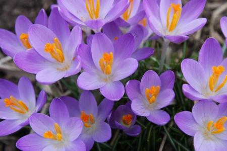 Purple Crocus Flowers Blooming in the Spring Stock Photo - 12971391