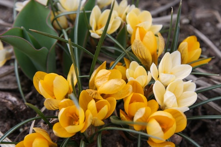 Yellow Crocus Flowers Blooming in the Spring Stock Photo - 12971389