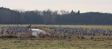 Jasper Pulaski County Sandhill Cranes in Indiana