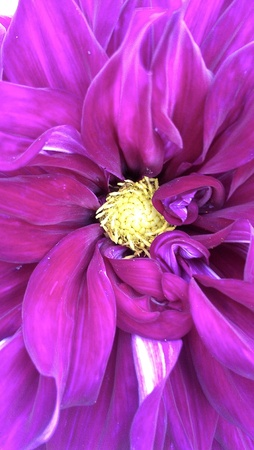 Dahlia flower up close and purple.