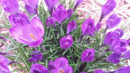 Purple Crocus Flowers blooming in spring.