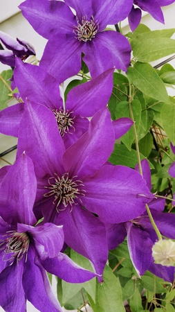 Clematis Vining flowers Stock Photo - 28724407