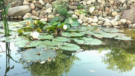 Water lilies in a pond. Stock Photo