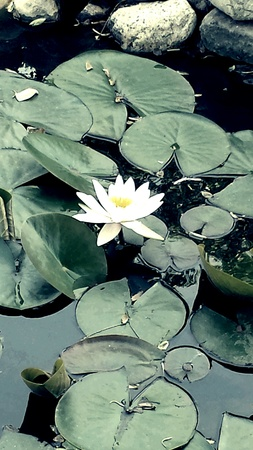 White water lily in a pond.