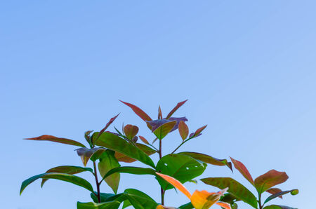 foret sapin: The forest tree and blue sky  in dry evergreen forest  at Tak Thailand Banque d'images