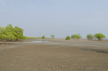 brackish water: Mangrove trees on the tidal flat in the ebb tide time Stock Photo